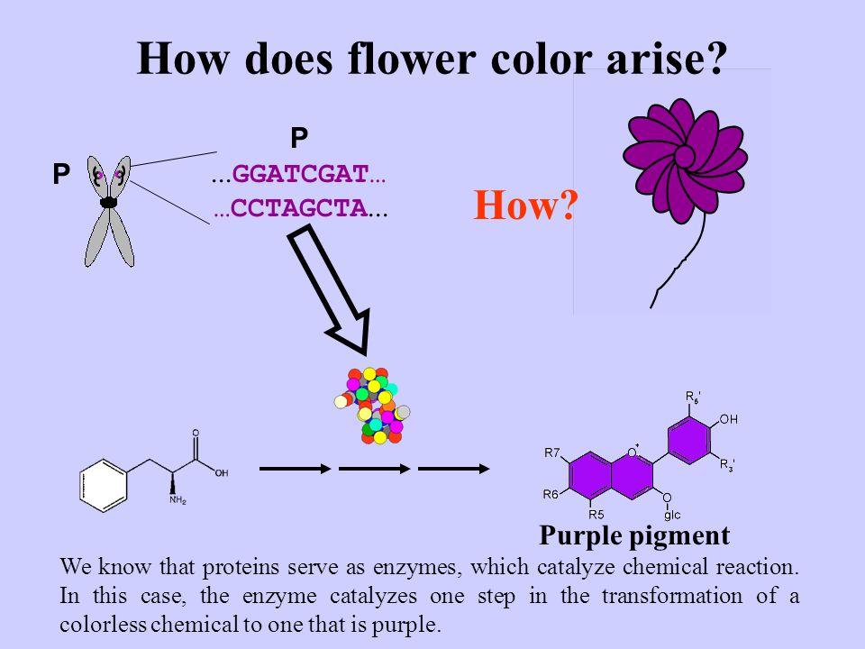 ...GGATCGAT… …CCTAGCTA... P P Purple pigment How.