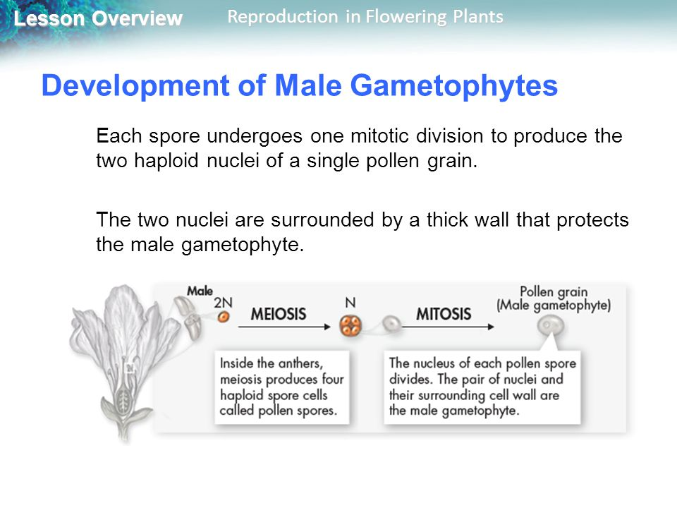 Lesson Overview Lesson Overview Reproduction in Flowering Plants Development of Male Gametophytes Each spore undergoes one mitotic division to produce the two haploid nuclei of a single pollen grain.