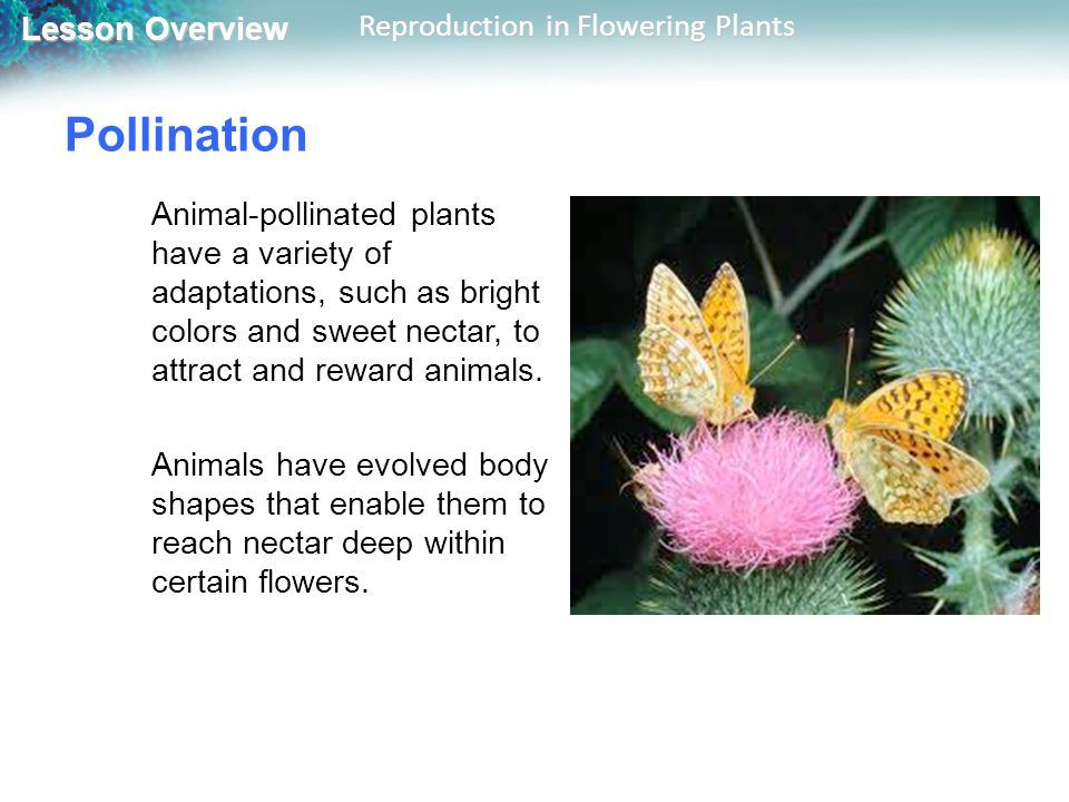 Lesson Overview Lesson Overview Reproduction in Flowering Plants Pollination Animal-pollinated plants have a variety of adaptations, such as bright colors and sweet nectar, to attract and reward animals.