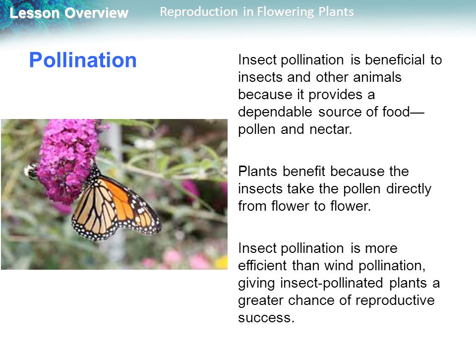 Lesson Overview Lesson Overview Reproduction in Flowering Plants Pollination Insect pollination is beneficial to insects and other animals because it provides a dependable source of food pollen and nectar.
