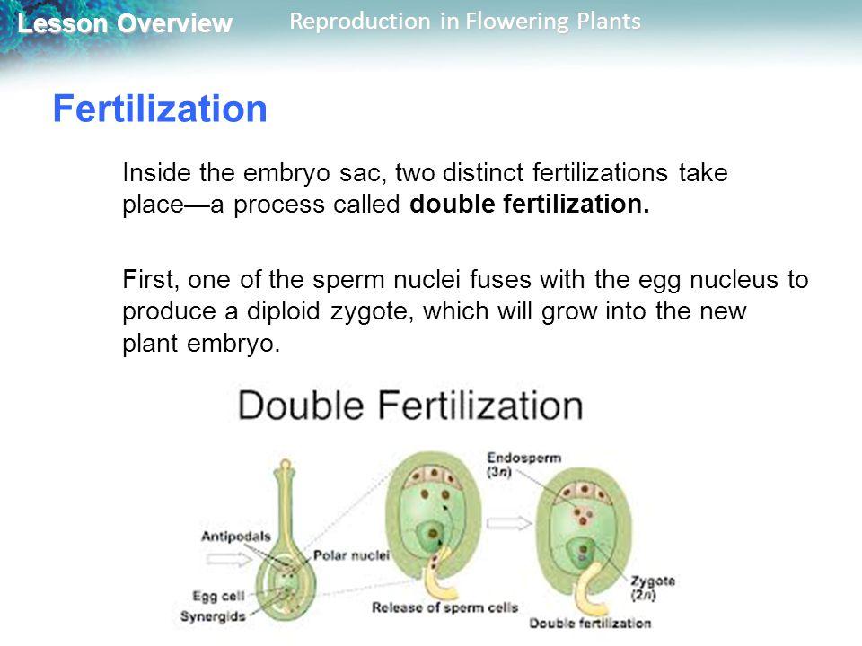 Lesson Overview Lesson Overview Reproduction in Flowering Plants Fertilization Inside the embryo sac, two distinct fertilizations take placea process called double fertilization.