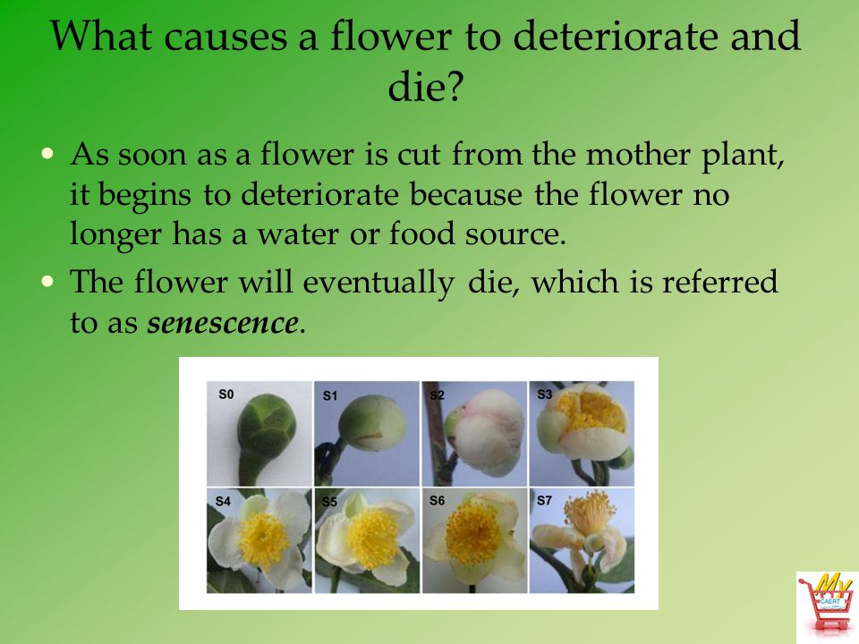What causes a flower to deteriorate and die? As soon as a flower is cut from the mother plant, it begins to deteriorate because the flower no longer h