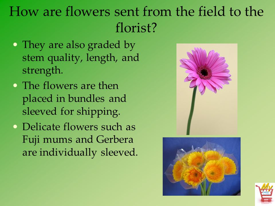 How are flowers sent from the field to the florist? They are also graded by stem quality, length, and strength. The flowers are then placed in bundles
