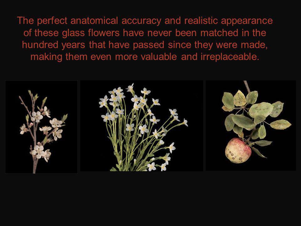 The perfect anatomical accuracy and realistic appearance of these glass flowers have never been matched in the hundred years that have passed since they were made, making them even more valuable and irreplaceable.