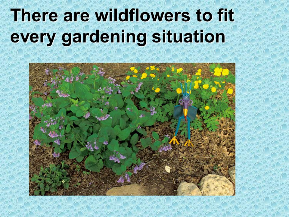 There are wildflowers to fit every gardening situation