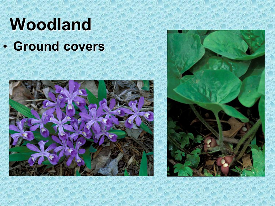 Woodland Ground coversGround covers