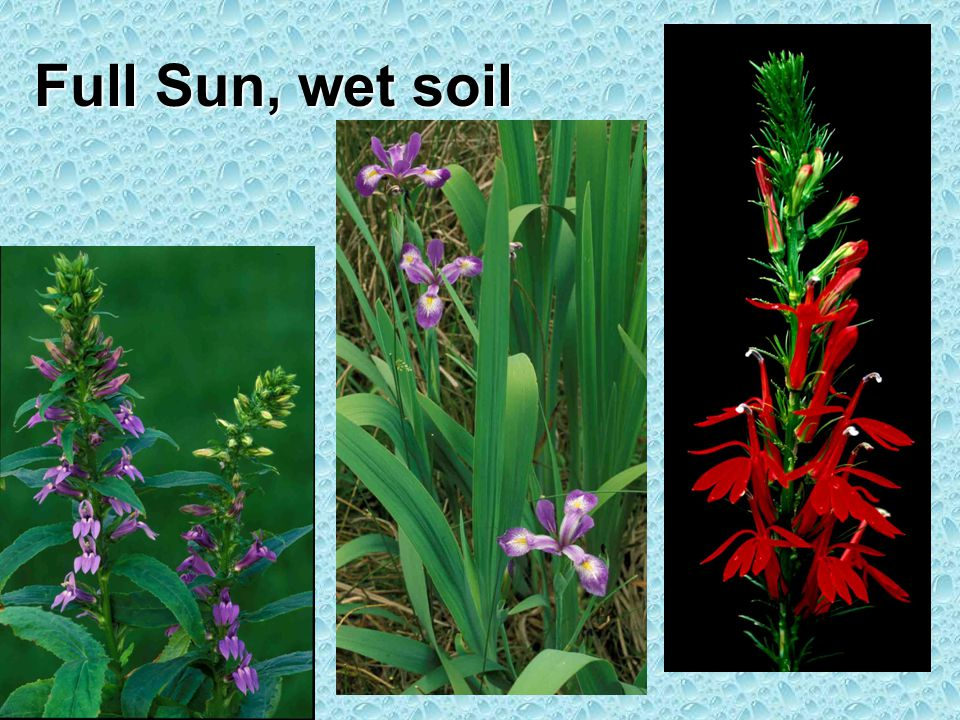 Full Sun, wet soil