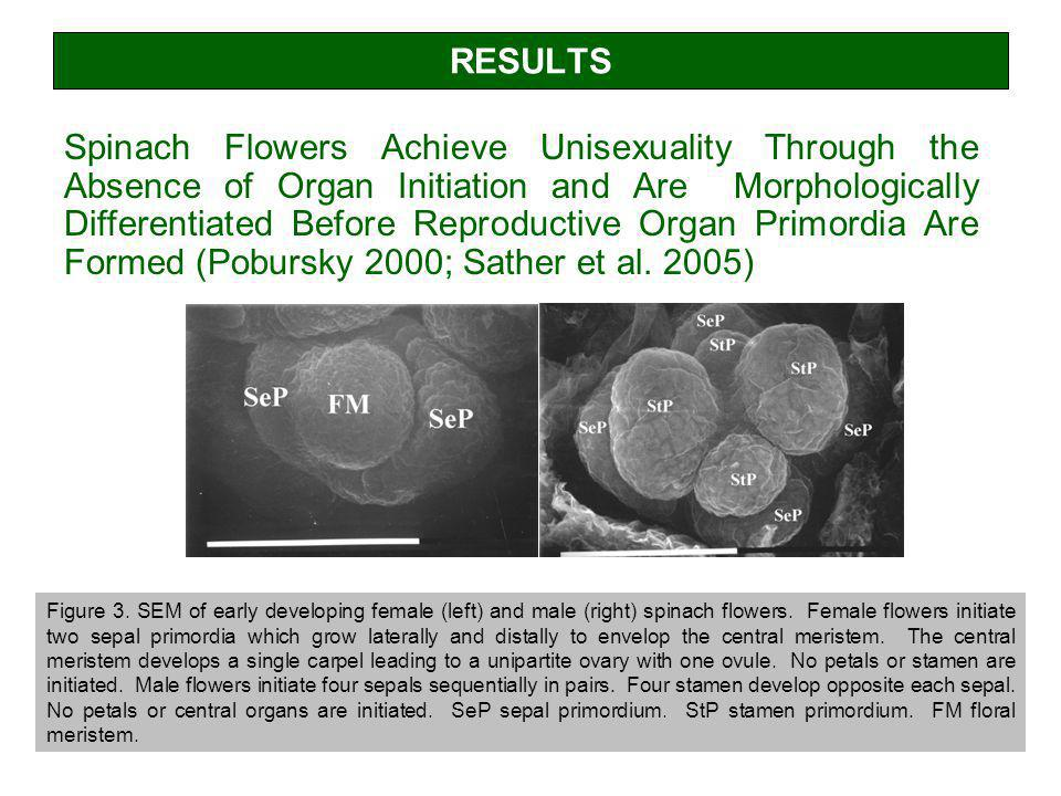 RESULTS Spinach Flowers Achieve Unisexuality Through the Absence of Organ Initiation and Are Morphologically Differentiated Before Reproductive Organ Primordia Are Formed (Pobursky 2000; Sather et al.