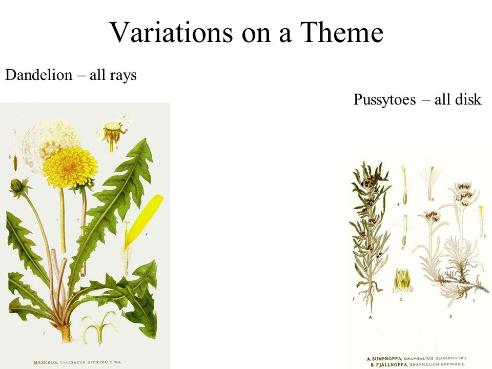 Variations on a Theme Dandelion – all rays Pussytoes – all disk