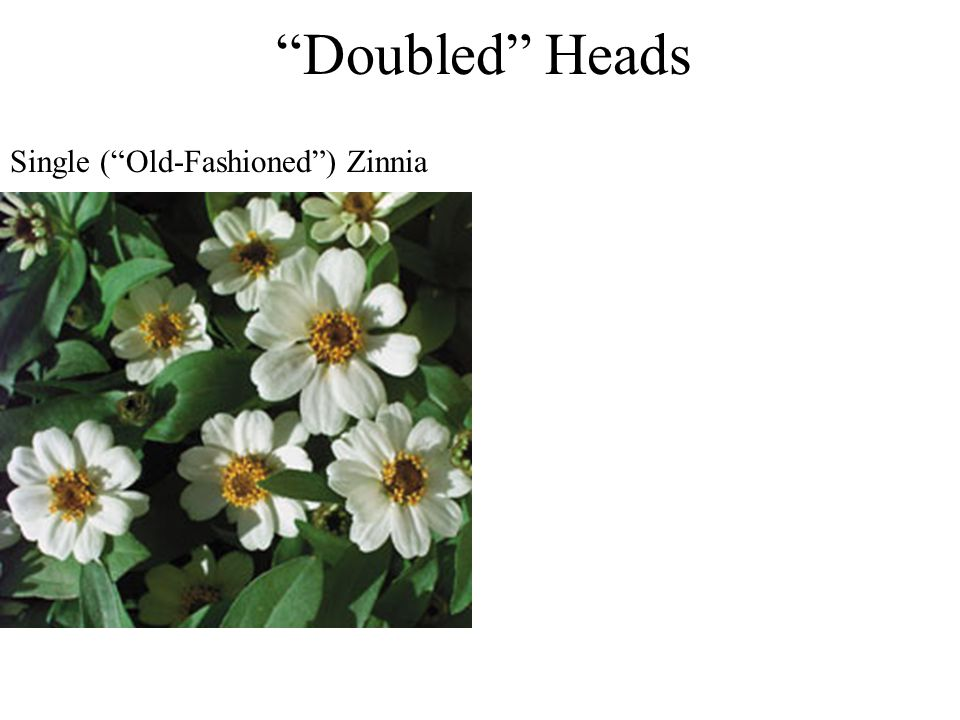 Doubled Heads Single (Old-Fashioned) Zinnia