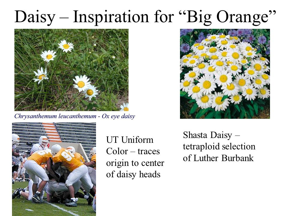 Daisy – Inspiration for Big Orange Shasta Daisy – tetraploid selection of Luther Burbank UT Uniform Color – traces origin to center of daisy heads