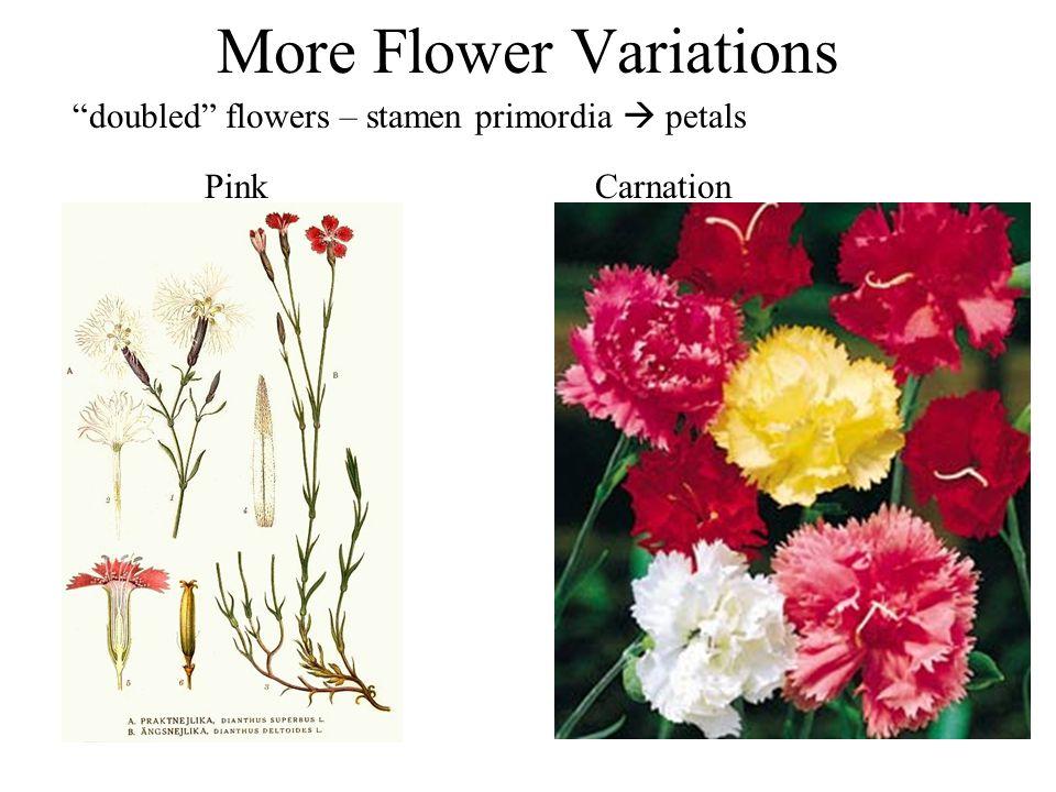 doubled flowers – stamen primordia petals Pink Carnation