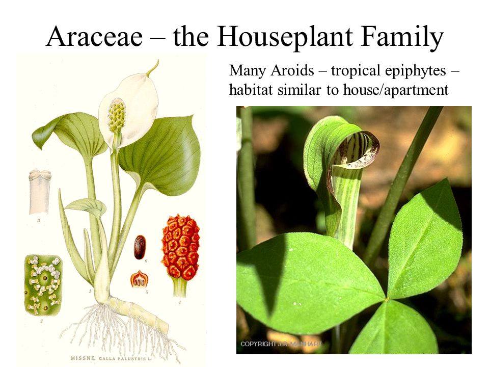 Araceae – the Houseplant Family Many Aroids – tropical epiphytes – habitat similar to house/apartment