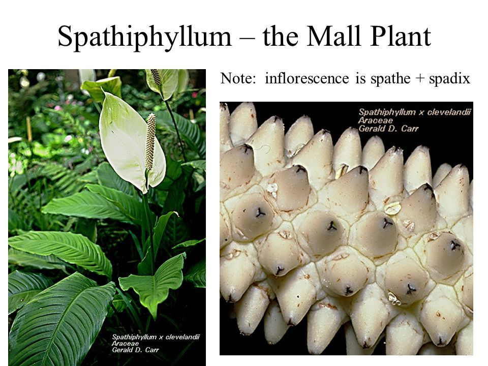 Spathiphyllum – the Mall Plant Note: inflorescence is spathe + spadix