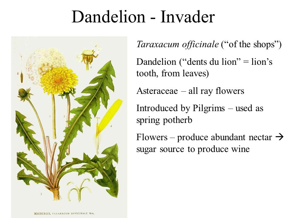 Dandelion - Invader Taraxacum officinale (of the shops) Dandelion (dents du lion = lions tooth, from leaves) Asteraceae – all ray flowers Introduced b