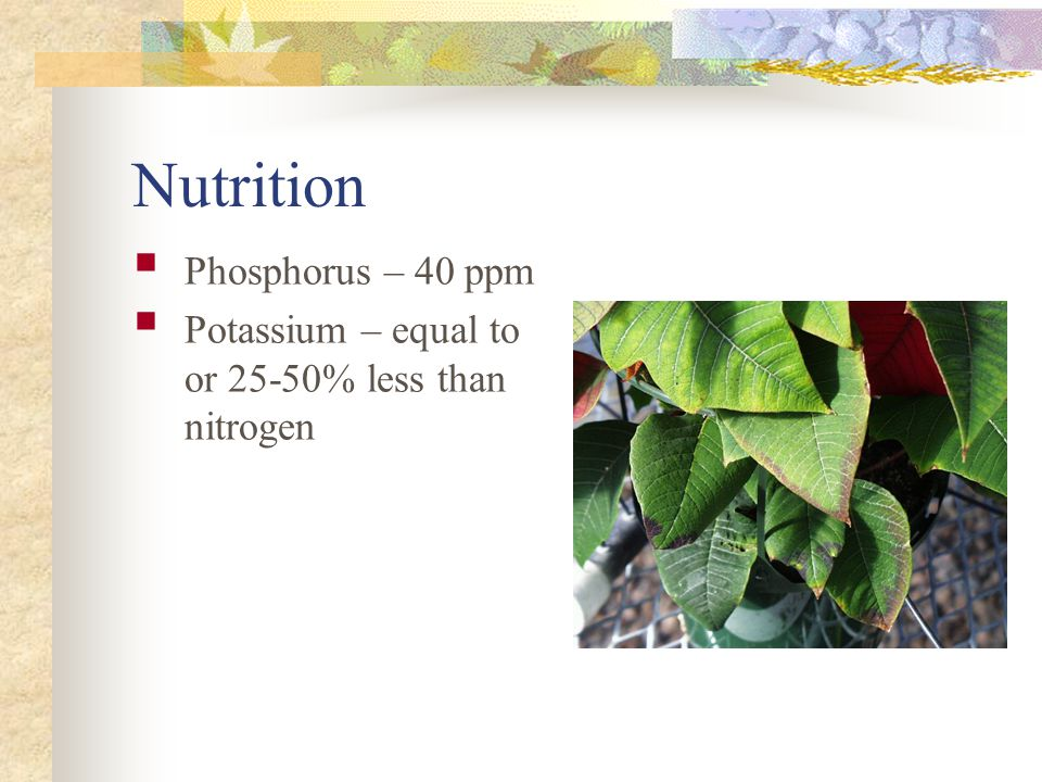 Nutrition Requires overall high rates.Nitrogen (CLF) 225 to 300 ppm N overhead irrigation.