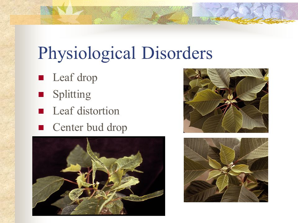 Physiological Disorders Bract necrosis Leaf edge burn Stem breakage Cycocel damage