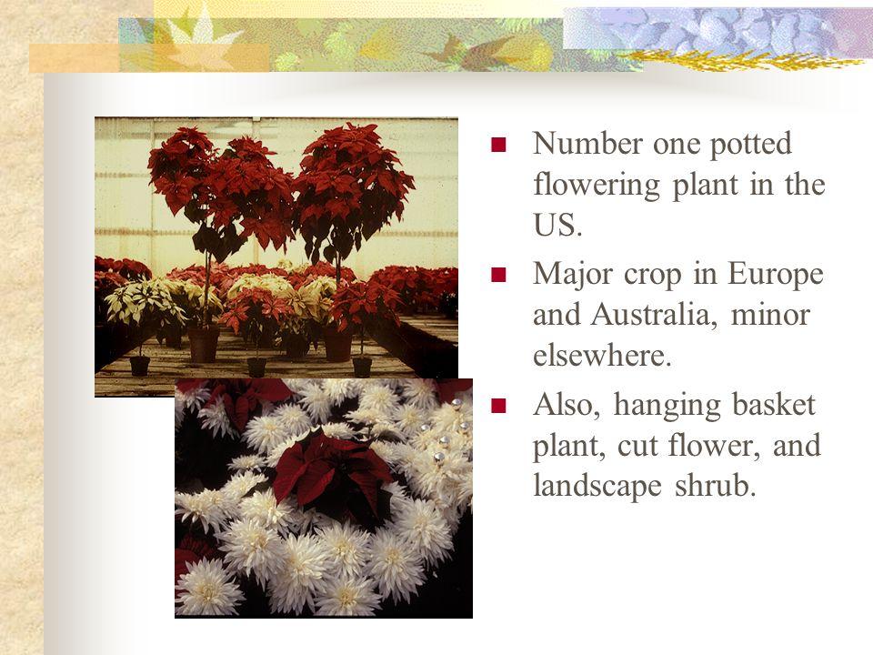 Poinsettias Poinsettia, Christmas flower Euphorbia pulcherrima Euphorbiaceae Native to S. Mexico and N. Guatemala