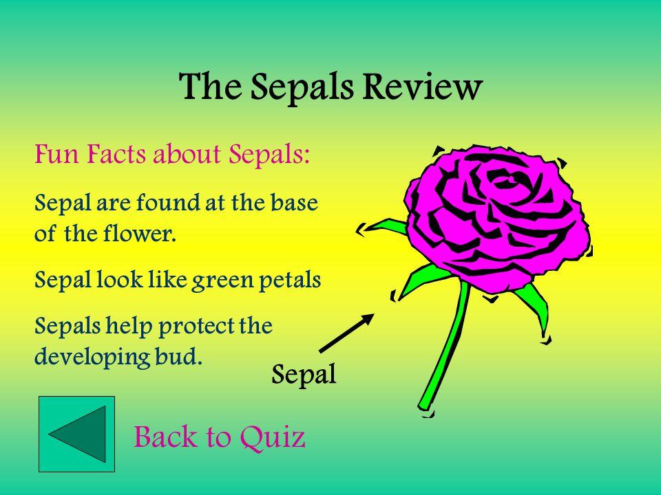 The Petals Review Petal Fun Facts about Petals: Petals are the colorful part of a flower. Petals attract pollinators. Back to Quiz