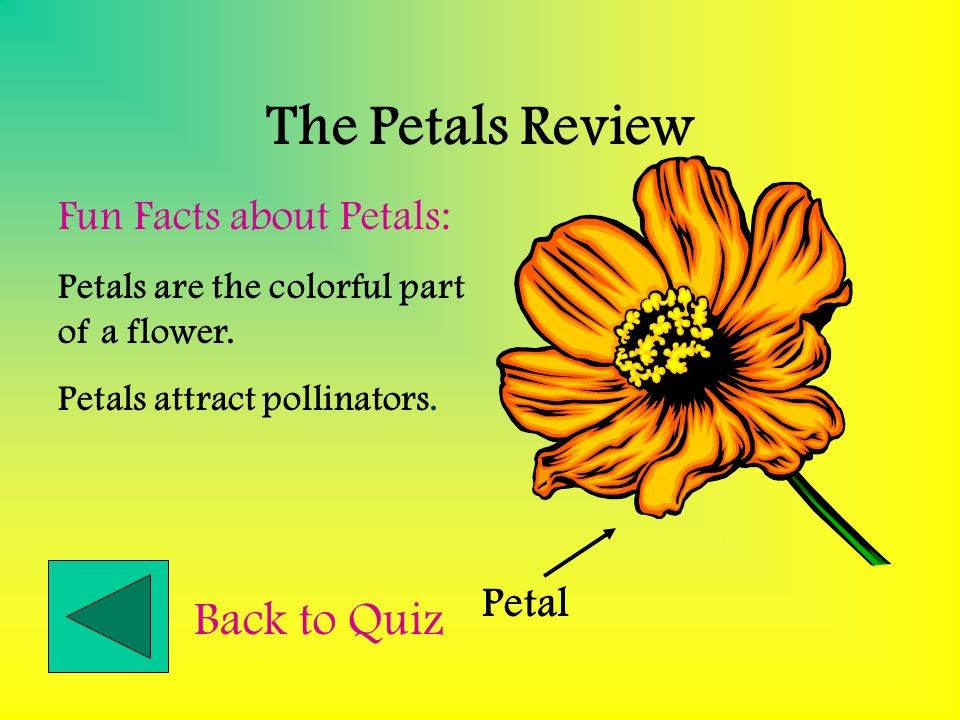 The Sepals Review Sepal Fun Facts about Sepals: Sepal are found at the base of the flower. Sepal look like green petals Sepals help protect the develo