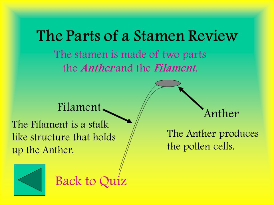 The Stamen Review Stamen Stamen are the Male reproductive organs of a flower. The stamen produce the Male sex cells called pollen cells. Back to Quiz