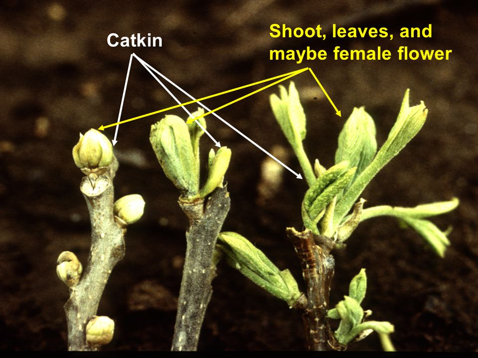 Catkin Shoot, leaves, and maybe female flower