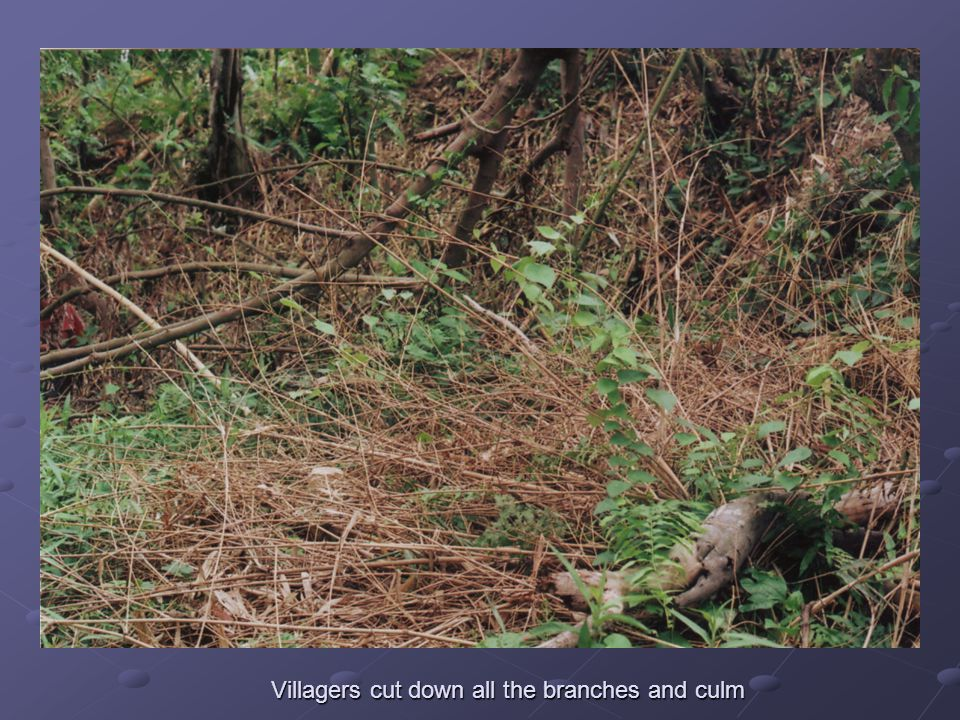 Villagers cut down all the branches and culm