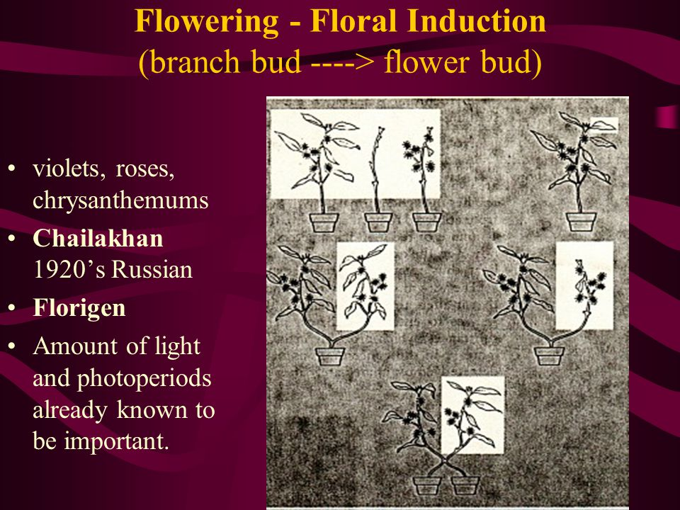 Flowering - Floral Induction (branch bud ----> flower bud) violets, roses, chrysanthemums Chailakhan 1920s Russian Florigen Amount of light and photop