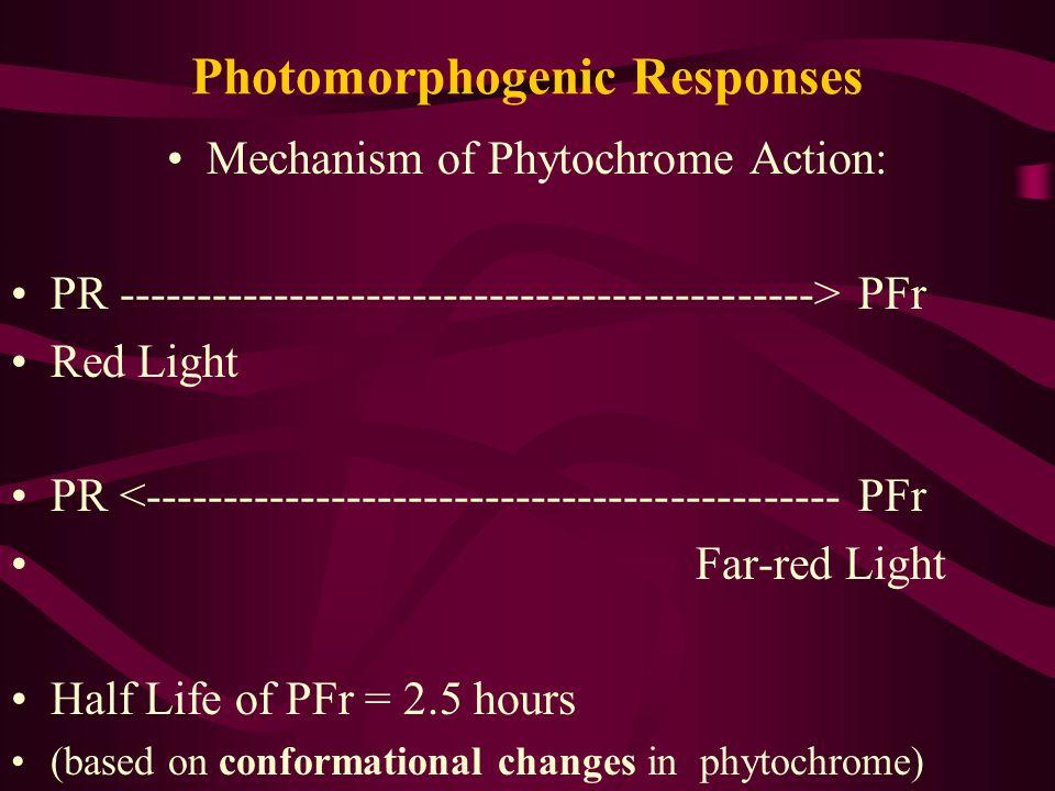 Photomorphogenic Responses Mechanism of Phytochrome Action: PR ---------------------------------------------> PFr Red Light PR <--------------------------------------------- PFr Far-red Light Half Life of PFr = 2.5 hours (based on conformational changes in phytochrome)