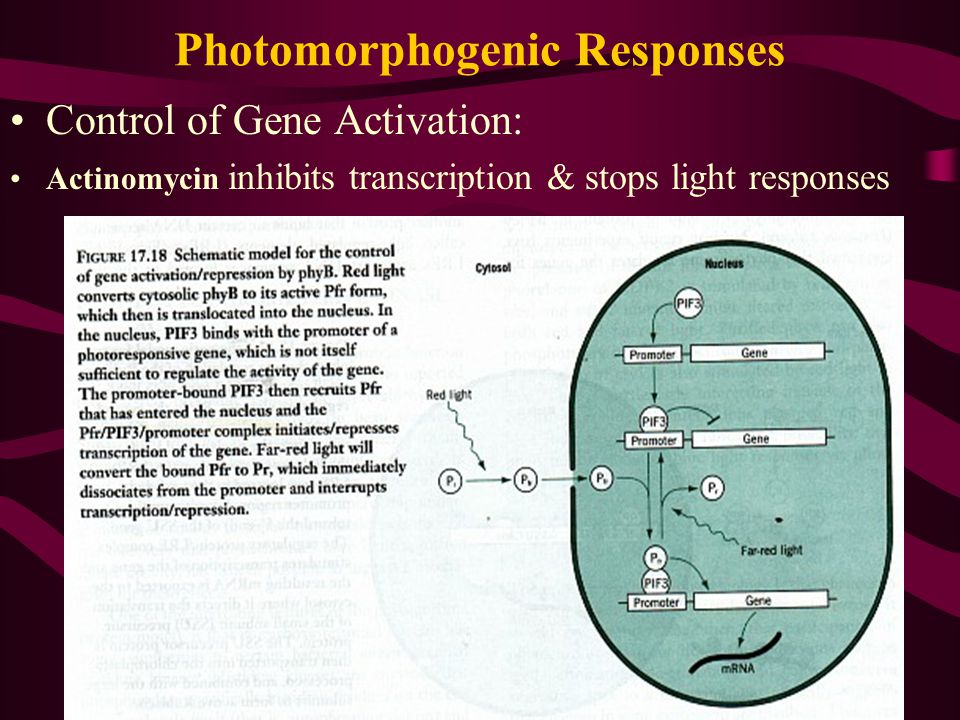Photomorphogenic Responses Control of Gene Activation: Actinomycin inhibits transcription & stops light responses