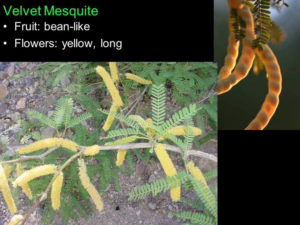 Velvet Mesquite Fruit: bean-like Flowers: yellow, long