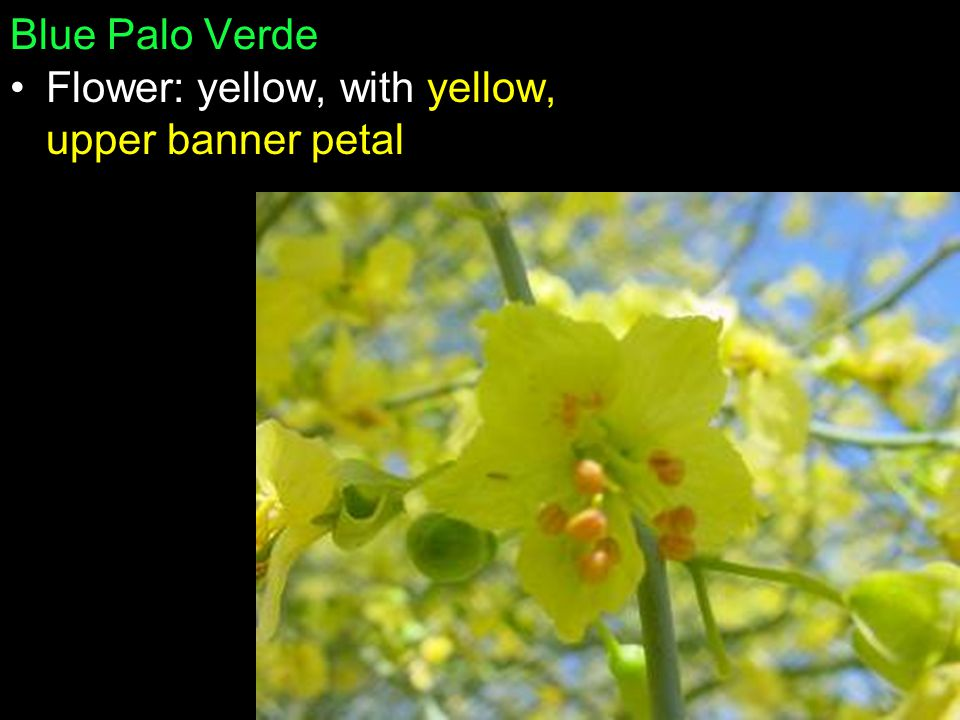 Blue Palo Verde Flower: yellow, with yellow, upper banner petal