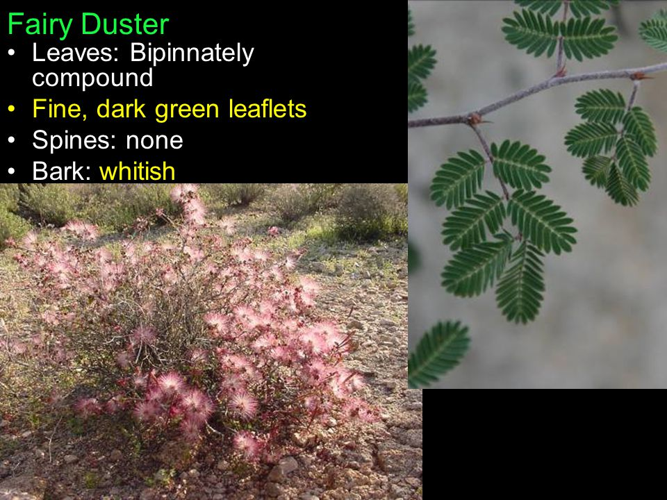 Fairy Duster Leaves: Bipinnately compound Fine, dark green leaflets Spines: none Bark: whitish