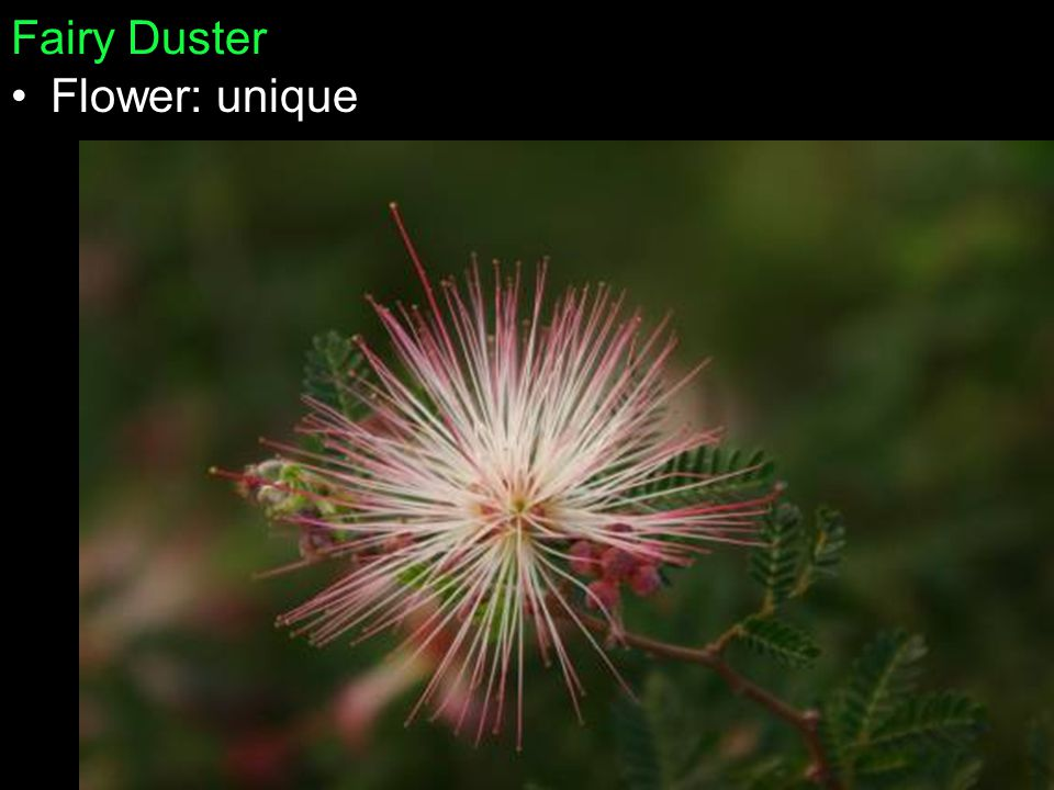 Fairy Duster Flower: unique