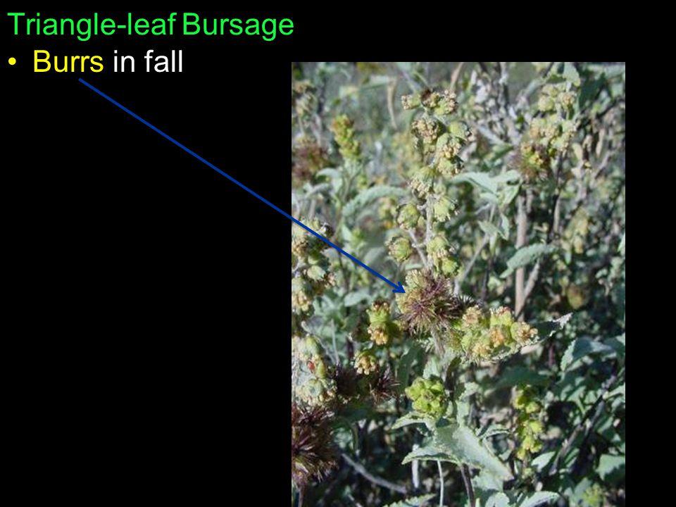 Triangle-leaf Bursage Burrs in fall