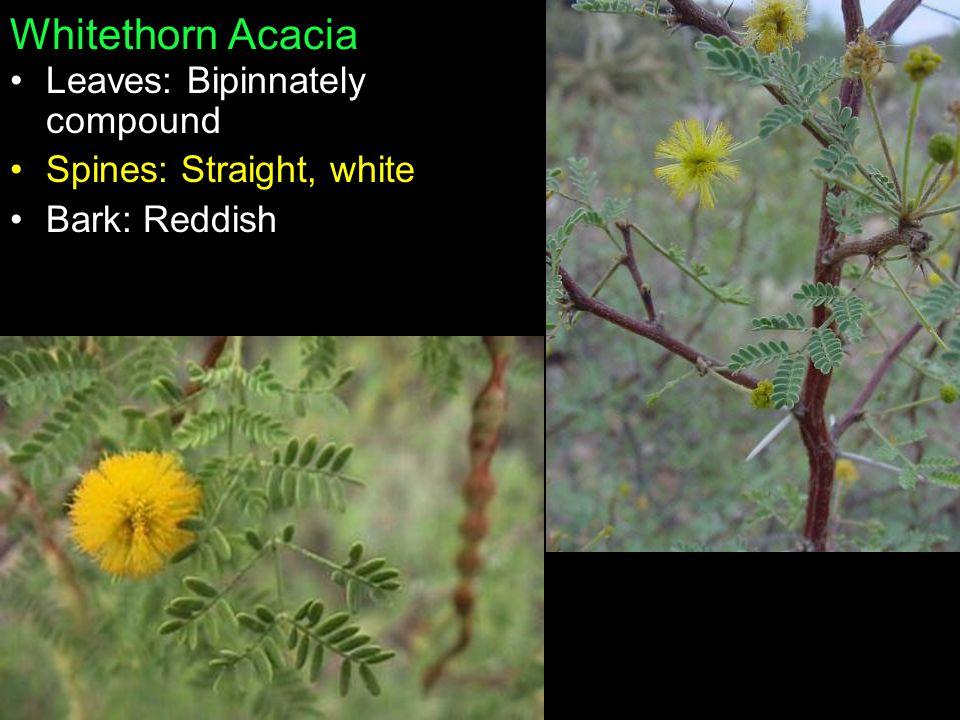Whitethorn Acacia Leaves: Bipinnately compound Spines: Straight, white Bark: Reddish