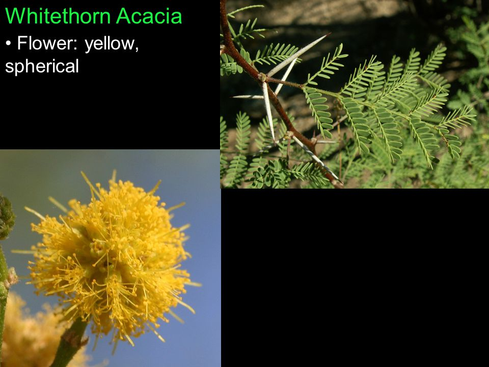 Whitethorn Acacia Flower: yellow, spherical