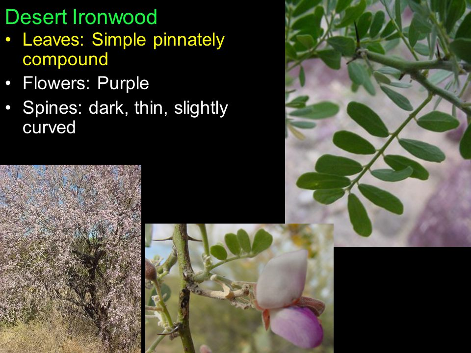 Desert Ironwood Leaves: Simple pinnately compound Flowers: Purple Spines: dark, thin, slightly curved