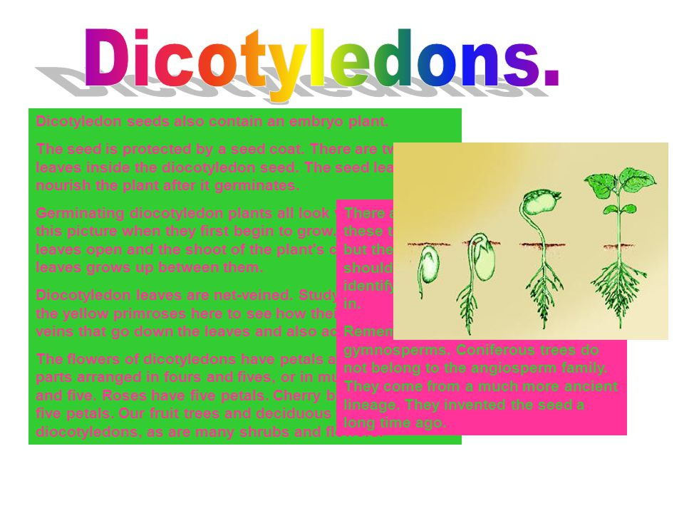 Dicotyledon seeds also contain an embryo plant. The seed is protected by a seed coat. There are two seed leaves inside the diocotyledon seed. The seed