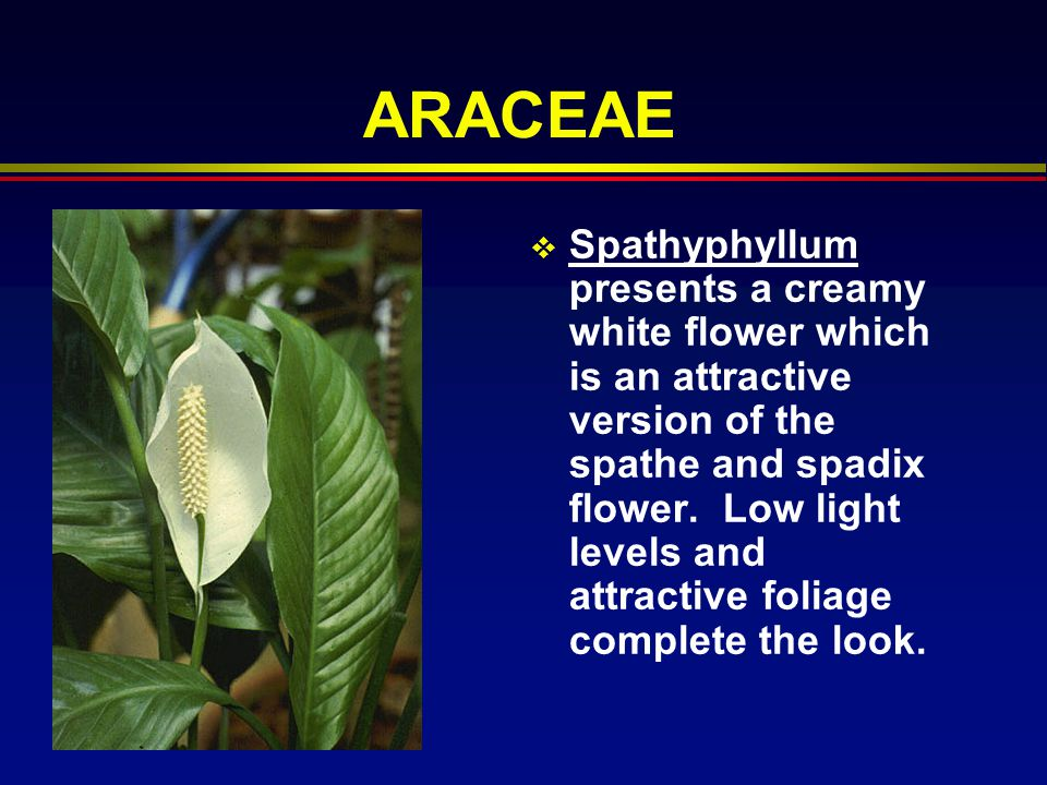 ARACEAE Spathyphyllum presents a creamy white flower which is an attractive version of the spathe and spadix flower. Low light levels and attractive f