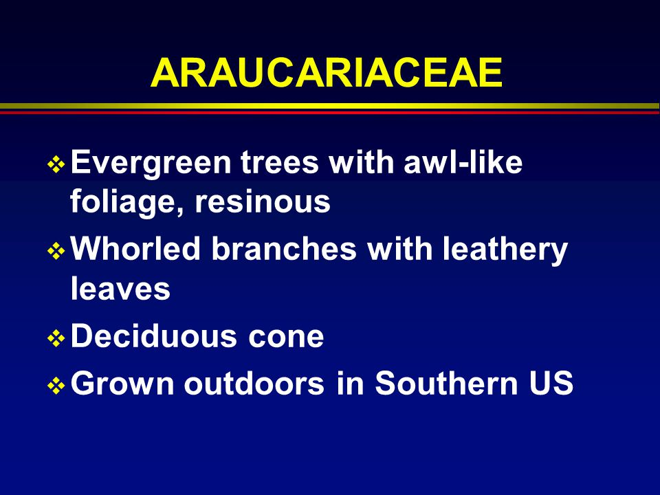 ARAUCARIACEAE Evergreen trees with awl-like foliage, resinous Whorled branches with leathery leaves Deciduous cone Grown outdoors in Southern US