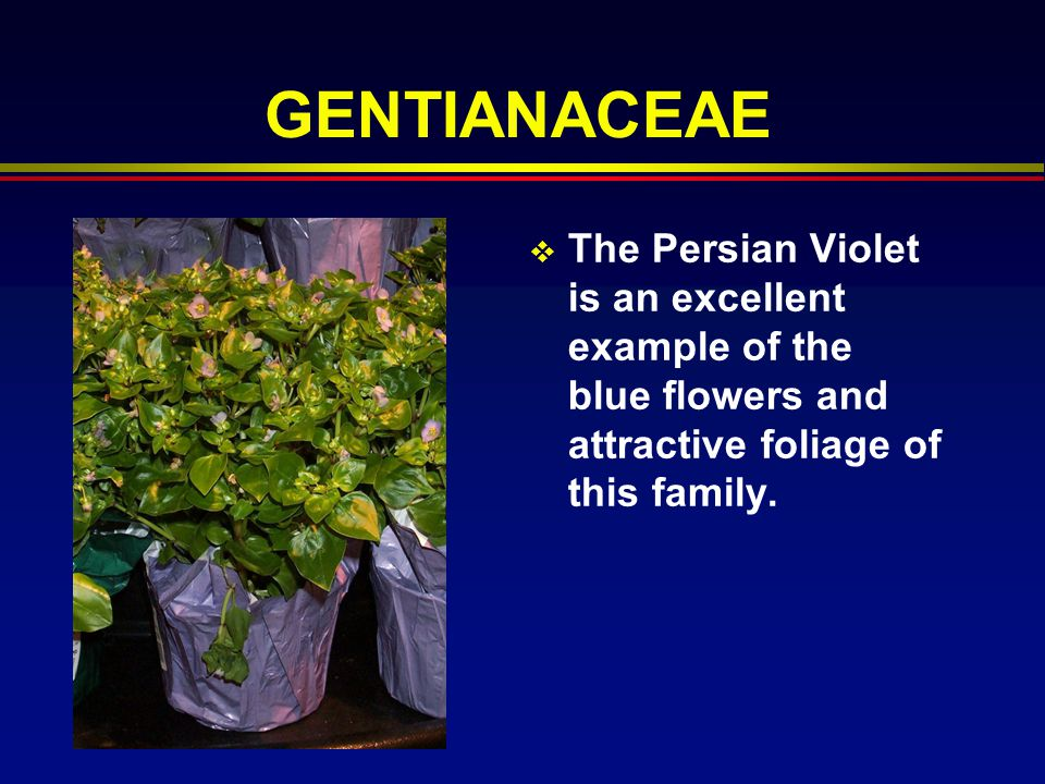 GENTIANACEAE The Persian Violet is an excellent example of the blue flowers and attractive foliage of this family.