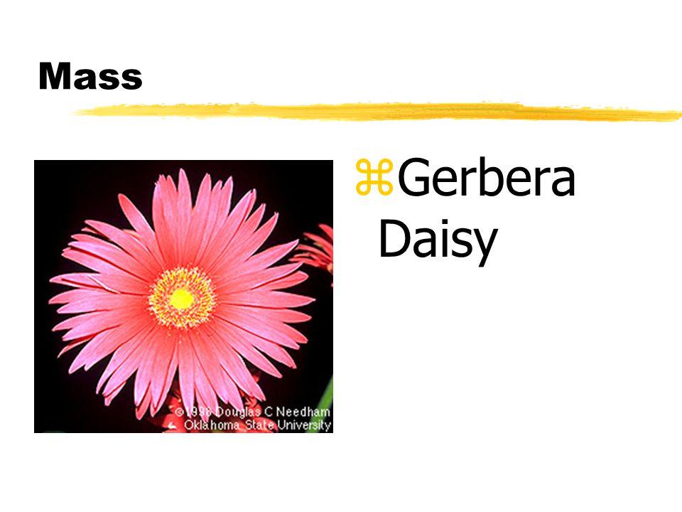 Mass z Gerbera Daisy