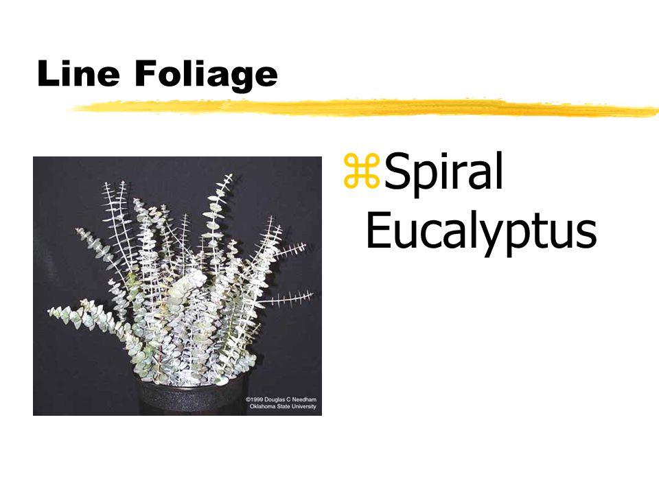 Line Foliage z Spiral Eucalyptus