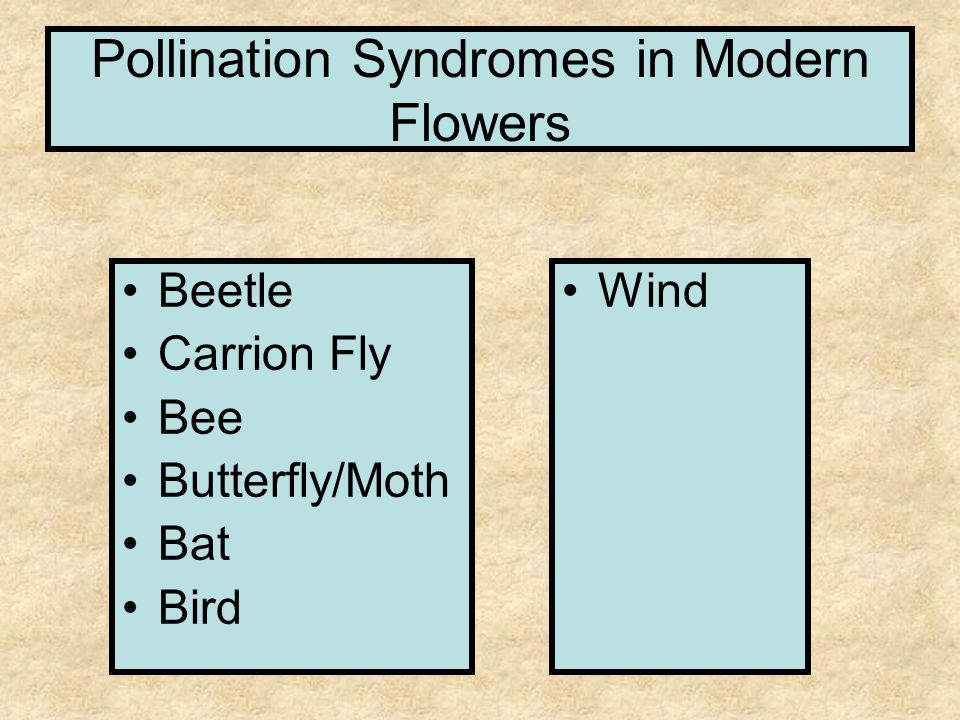 Pollination Syndromes in Modern Flowers Beetle Carrion Fly Bee Butterfly/Moth Bat Bird Wind