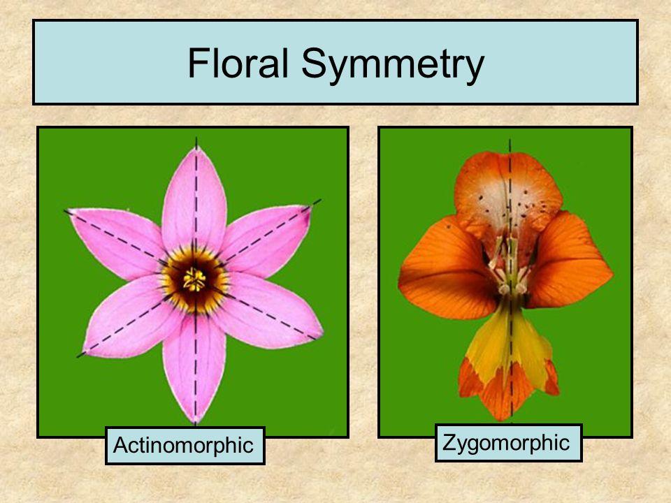 Floral Symmetry Actinomorphic Zygomorphic