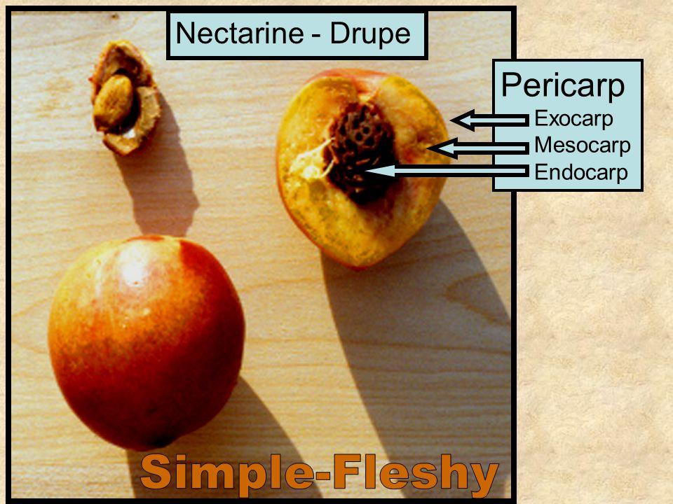 Pericarp Exocarp Mesocarp Endocarp Nectarine - Drupe
