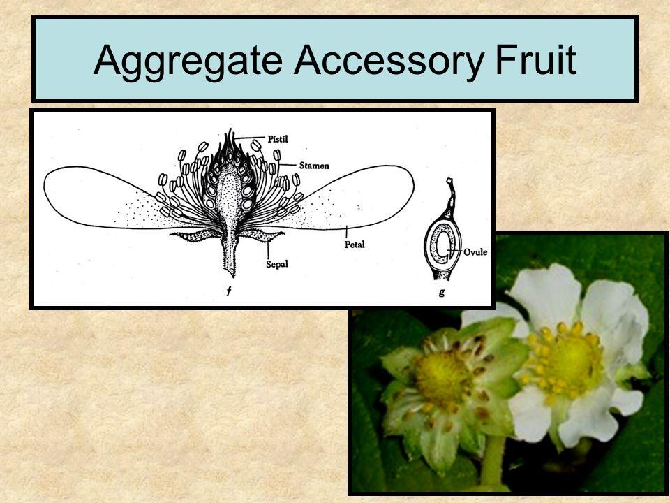 Aggregate Accessory Fruit