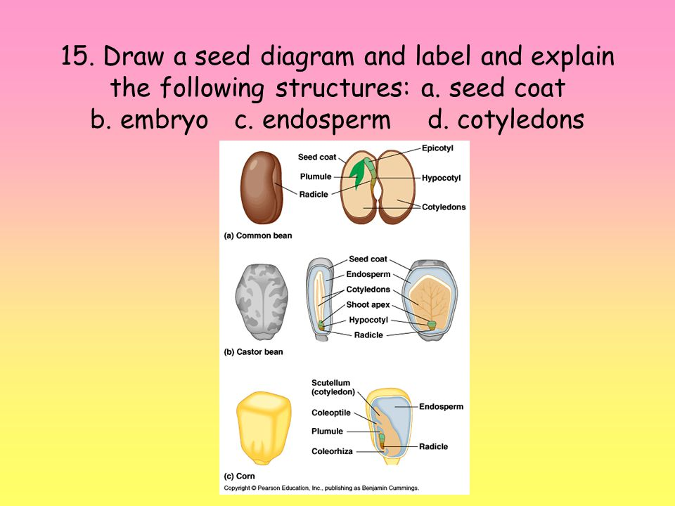 15.Draw a seed diagram and label and explain the following structures: a.
