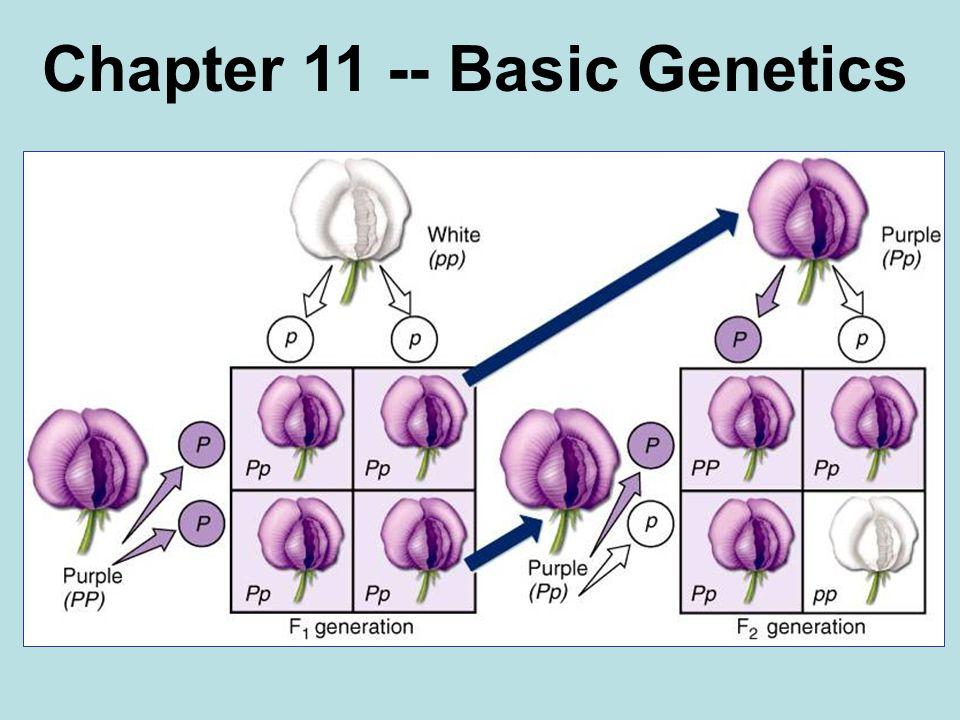 Phenotype Purple 3 Genotype PP (homozygous Pp (heterozygous Pp (heterozygous pp (homozygous 1 2 1 Ratio 1:2:1 White Ratio 3:1 1